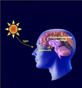 lysets påvirkning af hjernen